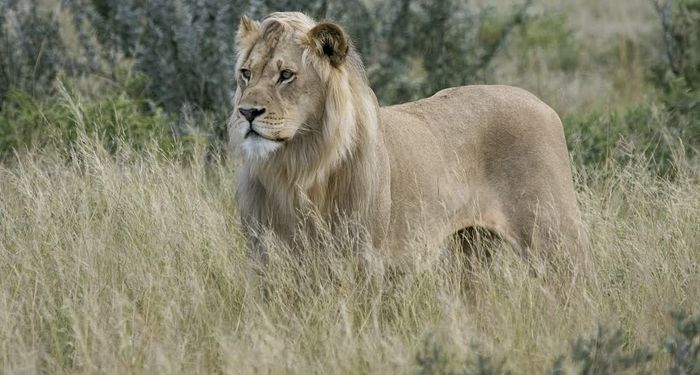 title: Lion in the savanna in Central Kalahari Game Reserve