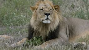 Lion relaxing amid the grass in Central Kalahari Game Reserve Botswana