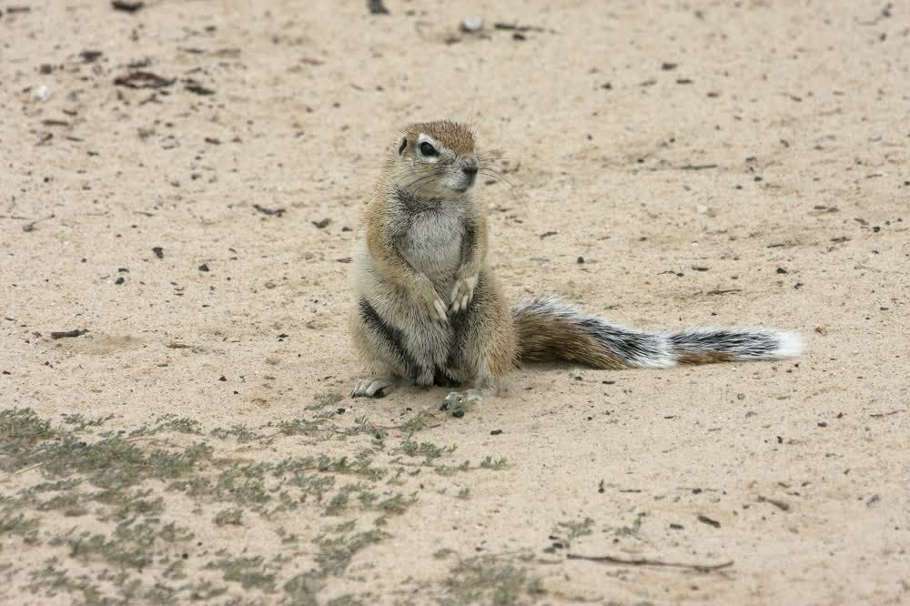 title: Little squirrel standing in awe Kgalagadi Transfrontier Park Botswana