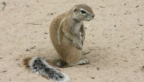 title: Lovely squirrel Kgalagadi Transfrontier Park Botswana