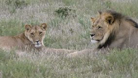 Male and female lions in Central Kalahari Game Reserve Botswana