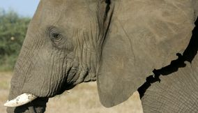title: Old elephant Northern Tuli Game Reserve Botswana