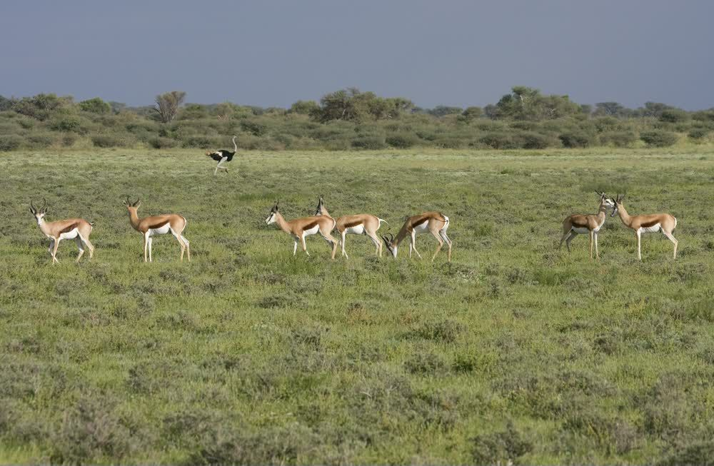 title: One ostrich and many gazelles Kgalagadi Transfrontier Park Botswana