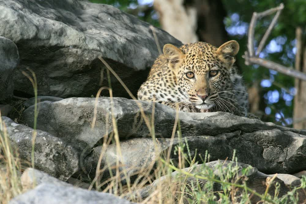 title: Peaceful leopard Northern Tuli Game Reserve Botswana