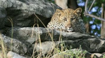 Peaceful leopard Northern Tuli Game Reserve Botswana