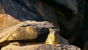 Rock dassie in Northern Tuli Game Reserve Botswana