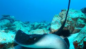 title: Sting Ray Underwater Seychelles