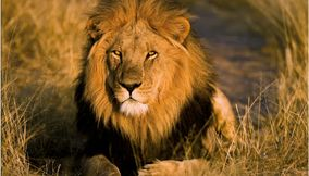 The King of the Jungle at Central Kalahari Game Reserve
