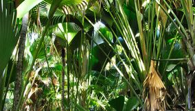title: Vallee de Mai Forest home of the famous Coco de Mer palm tree Seychelles