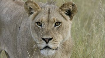 Watch out from the lion in Central Kalahari Game Reserve Botswana