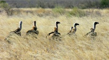 same direction in Central Kalahari Game Reserve