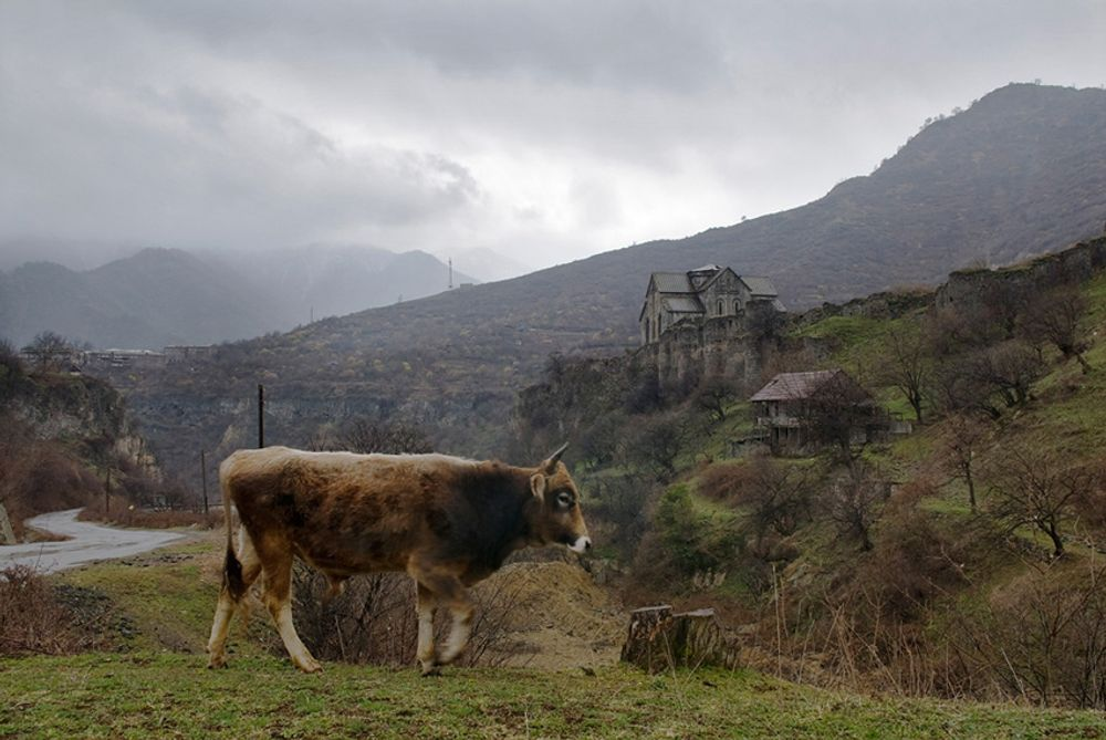 title: A Cow in Akhtala Armenia