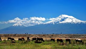 Ararat and cows Armenia