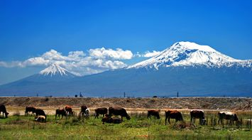 title: Ararat and cows Armenia