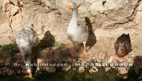 Ducks by Jeita Caves