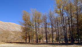 title: Tall Trees in the Fall in Bsharri