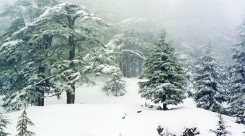 Snowy Trees in the Pure White Snow of Lebanon