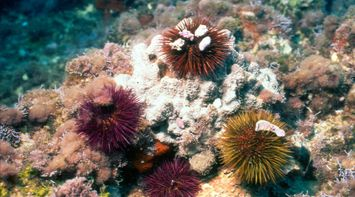 multicolored sea urchins underwater