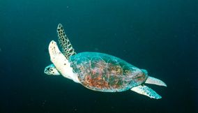 title: swimming sea turtle in the mediterranean
