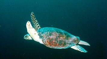 swimming sea turtle in the mediterranean
