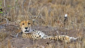 title: Resting cheetah