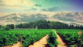 title: Kefraya vineyards