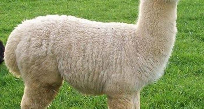 title: Alpaca wool the most expensive in the world