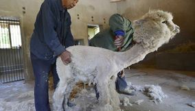 Alpaca wool the most expensive in the world