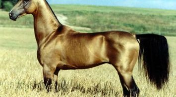 Discover Delhi Akhal Teke horse said to be the most beautiful Horse in the world