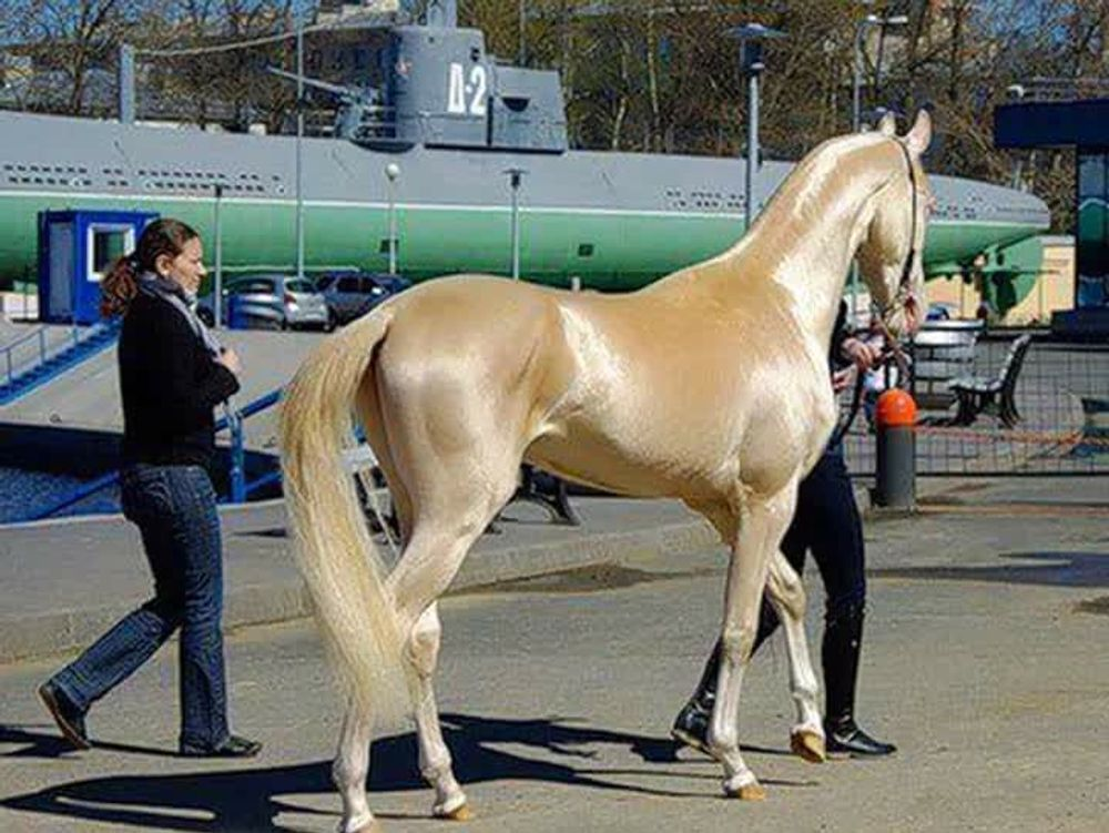 Akhal-Teke horse,said to be the most beautiful Horse in the world !