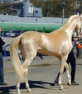 Discover India Akhal Teke horse said to be the most beautiful Horse in the world