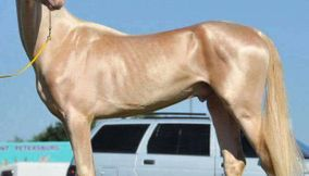 Akhal Teke horse said to be the most beautiful Horse in the world