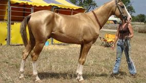 title: Akhal Teke horse said to be the most beautiful Horse in the world