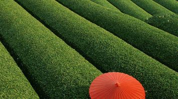 title: Fields Of Tea China