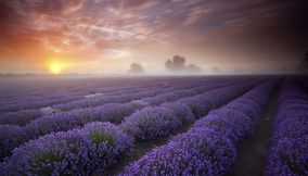 title: Lavender Fields UK and France
