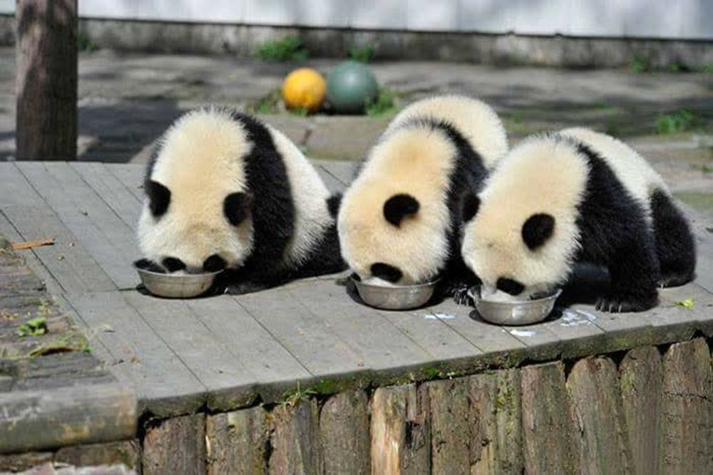 title: Most adorable place on Earth Panda day care