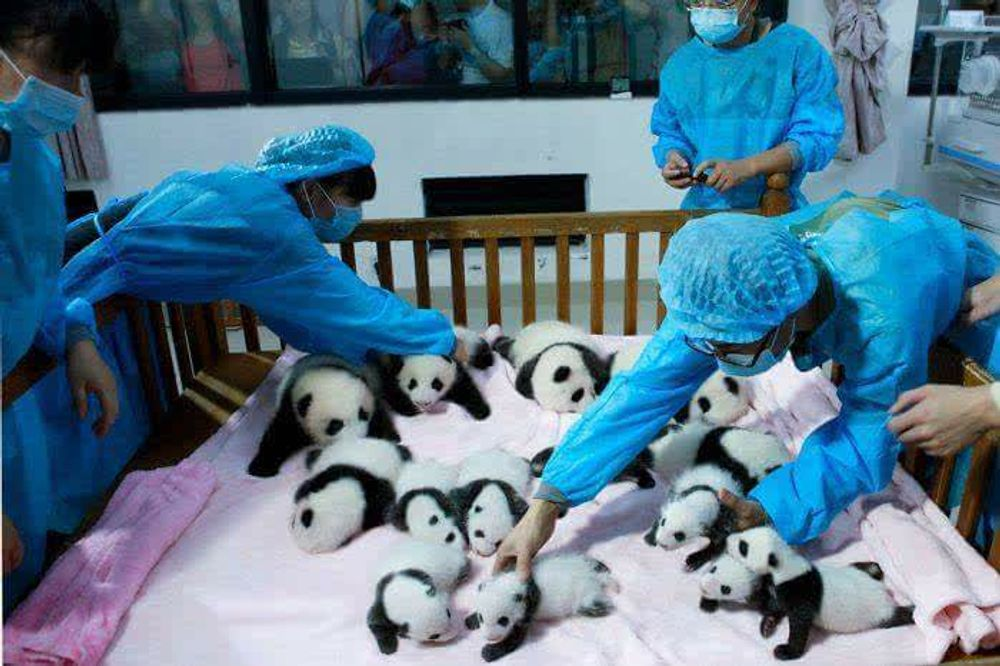 Most adorable place on Earth , Panda day care !
