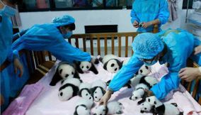 Most adorable place on Earth Panda day care