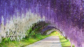 The Wisteria Flower Tunnel