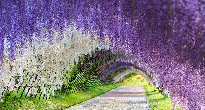 title: The Wisteria Flower Tunnel
