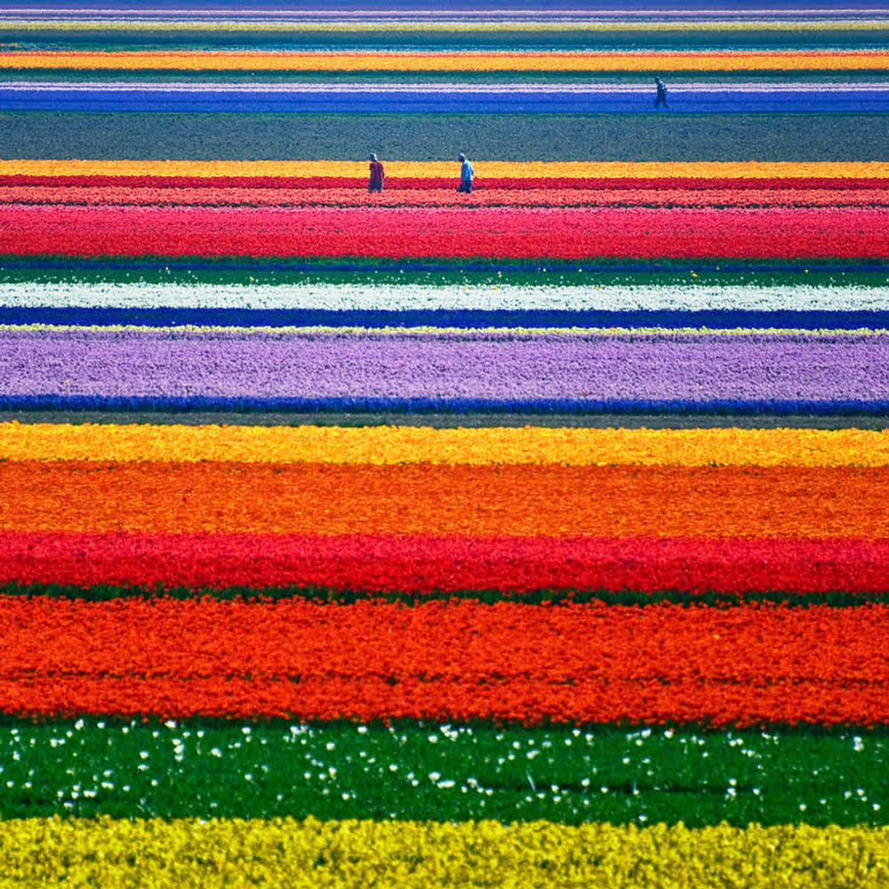 title: Tulip Fields In Netherlands
