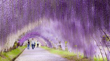 title: Wisteria Flower Tunnel in Japan